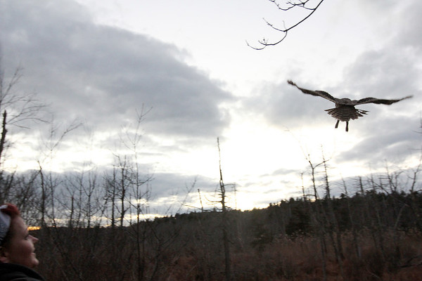 Allegra Boverman/Gloucester Daily Times. Jodi Swenson of Gloucester, a state and federally permitted wildlife rehabilitator from Gloucester, releases this barred owl into the Manchester Woods at dusk on Wednesday. Her daughter saw and rescued it from School Street in Manchester on Tuesday and Swenson was caring for it. On Wednesday she had it checked out by a local veterinarian who gave it a clean bill of health before she released it.