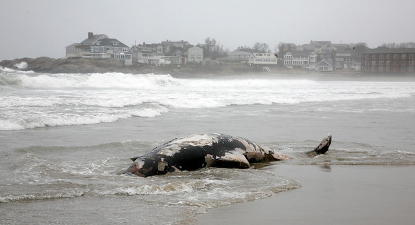 Allegra Boverman/Gloucester Daily Times. This pilot whale washed up on Long Beach on Tuesday morning but did wash back into the water at high tide about 3 p.m.