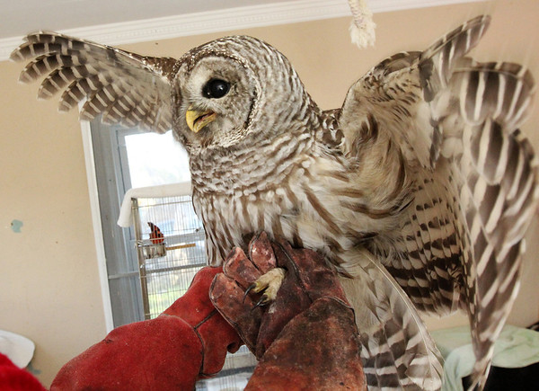 Allegra Boverman/Gloucester Daily Times.Allegra Boverman/Gloucester Daily Times. Jodi Swenson of Gloucester, a state and federally permitted wildlife rehabilitator, was taking care of this barred owl that was found by her daughter injured on School Street near the Route 128 ramps on Tuesday. Swenson later released the raptor at dusk on Wednesday once it was checked over by a veterinarian in the afternoon.
