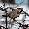 Jim Vaiknoras/Gloucester Times:A finch perches on a branch near stage Fort Park in Gloucester Monday afternoon.