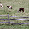 ALLEGRA BOVERMAN/Staff photo. Gloucester Daily Times. Alpacas and goats graze, along with sheep and cows, at Bothways Farm in Essex on Monday.