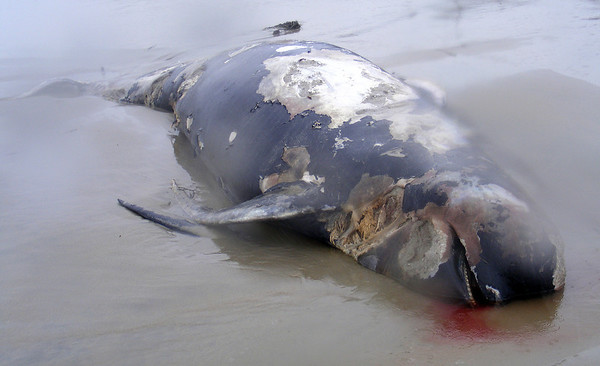 James Niedzinski/Gloucester Daily Times. A closer view of the pilot whale that washed up at Long Beach on Tuesday morning.