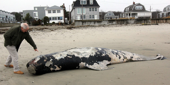 Allegra Boverman/Gloucester Daily Times. Brad Pierce, innkeeper of Cape Ann Motor Inn in Gloucester, talks about the pilot whale that now washed up on his part of Long Beach. He was examining the whale's eye and teeth.