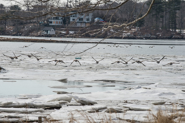 Desi Smith Staff photo/Gloucester Daily Times.    A flock of geese take flight over the icey water next to Masconomo Park in Manchester Friday afternoon.   January 31,2013.