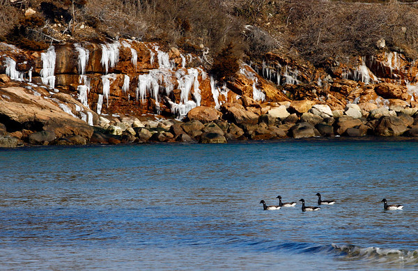 Manchester: Several common loons search for food at Singing Beach in Manchester. Photo by Kate Glass/Gloucester Daily Times Tuesday, February 24, 2009