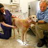 Gloucester: Cape Ann Veterinary Hospital Assistant Mindy Moore and Dr. Jeffrey French look at Charro Dawn, a ten-year-old greyhound that was attacked by a coyote in West Gloucester on Saturday. Photo by Kate Glass/Gloucester Daily Times Monday, February 16, 2009