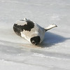 Manchester: An adult harp seal rests on some ice in Manchester Harbor Tuesday afternoon.  The seal has been drawing much attention but people are asked to respect the seal, keep their distance and not feed him. Mary Muckenhoupt/Gloucester Daily Times