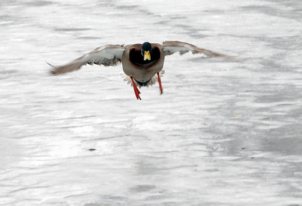 Rockport: A male mallard duck flies back to the ice on Mill Pond in Rockport yesterday afternoon. Photo by Kate Glass/Gloucester Daily Times
