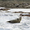 Gloucester: A harp seal rests by Lane's Cove Friday afternoon.  Because the presence of people and other animals is very stressful to seals people are asked to stay 50 ft. away from any seals they may encounter. Mary Muckenhoupt/Gloucester Daily Times