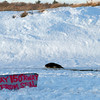 Gloucester: A seal rests at Good Harbor Beach on Sunday. Dog owners were urged to keep their dogs on leashes when near the seal, which is reportedly healthy and will go back to the water when ready. Photo by Kate Glass/Gloucester Daily Times