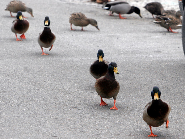 Rockport: Several mallard ducks waddle across Pigeon Cove for food that lobsterman Jim Waddell left for them. Waddell says the ducks have been hanging around the cove for most of the winter and often come right up to his shack looking for food. Photo by Kate Glass/Gloucester Daily Times
