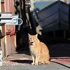 ALLEGRA BOVERMAN/Staff photo. Gloucester Daily Times. Gloucester: Stubby the cat is safe and sound in Harbor Loop. He calls The Dive Locker of the Maritime Gloucester center one of his multiple homes. Museum staff had taken him out of the rain the other day to see if he needs veterinary attention, causing consternation in the neighborhood about his wherabouts and possible disappearance, particularly with staff and customers at the TD Bank location there. Stubby has been a popular resident on Harbor Loop for 11 years.