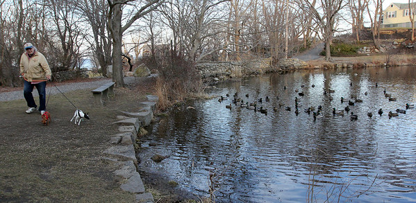 ALLEGRA BOVERMAN/Staff photo. Gloucester Daily Times. Rockport: Jim Leonardi of Rockport walks his dogs Peter, 3, a minpin, left, and Levi, 2, a rat terrier, on Wednesday afternoon in Mill Pond Park while lots of mallard ducks swim around and eat some of the cracked corn he and a neighbor had left for them.