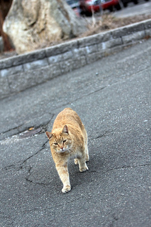 ALLEGRA BOVERMAN/Staff photo. Gloucester Daily Times. Gloucester: Stubby, the resident cat of Harbor Loop, comes to greet a new  friend along the street on Tuesday afternoon.