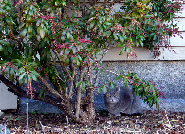 ALLEGRA BOVERMAN/Staff photo. Gloucester Daily Times. Rockport: A cat almost blends in with its surroundings along King Street in Rockport.