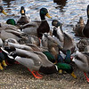 ALLEGRA BOVERMAN/Staff photo. Gloucester Daily Times. Rockport: Lots of mallard ducks swim around and eat some of the cracked corn left by  two neighbors on Wednesday afternoon at Mill Pond Park.
