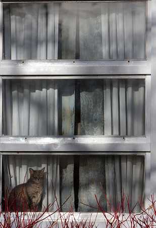 ALLEGRA BOVERMAN/Staff photo. Gloucester Daily Times. Gloucester: A cat sits in a sunny window along Poplar Street in Gloucester on Thursday.