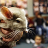 Dusty the Chinchilla is revealed to the audience of a live animal show at the Sawyer Free Library which was sponsored by Critters 'N Creatures on Saturday in order to introduce children and adults alike to rare animals that are being threatened by humans. Jesse Poole/Gloucester Daily Times Jan. 28, 2012