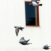 Allegra Boverman/Gloucester Daily Times. Pigeons fly en masse around the state fishing pier.