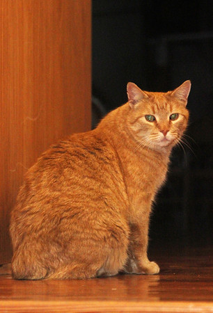 Allegra Boverman/Gloucester Daily Times. Stubby the cat was the guest of honor at a Valentine's Day/birthday party held Thursday at Maritime Gloucester.