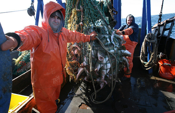 Gloucester: Mario and Joe Orlando haul in a net full of cod. Photo by Kate Glass/Gloucester Daily Times