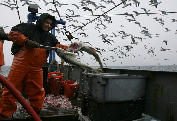 Gloucester: Joe Orlando loads the gutted cod into bins as seagulls fly overhead looking for scraps. Photo by Kate Glass/Gloucester Daily Times