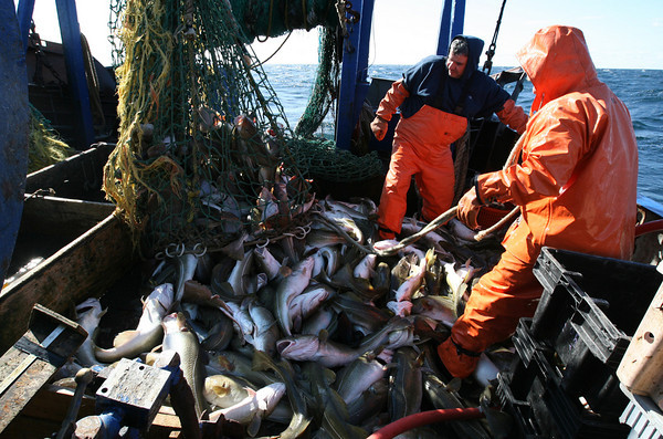 Gloucester: Joe and Mario Orlando haul in a net full of cod. Photo by Kate Glass/Gloucester Daily Times