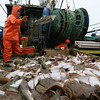 Gloucester: Mario Orlando tosses cod toward the gutting area as he sorts through the first haul, which was mostly flounder. Photo by Kate Glass/Gloucester Daily Times