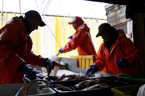 Gloucester: From left, John Burnham, Hugo Lima and Misael Velasquez sort cod at the Gloucester Seafood Dislpay Auction Thursday afternoon. Mary Muckenhoupt/Gloucester Daily Times
