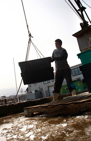 Gloucester: Eric Josephson unloads cod form a fishing boat at the Gloucester Seafood Dislpay Auction Thursday afternoon. Mary Muckenhoupt/Gloucester Daily Times
