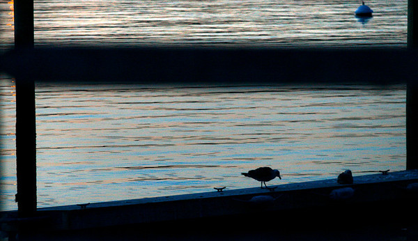 Gloucester: A seagull searches for an evening snack in East Gloucester last night. Photo by Kate Glass/Gloucester Daily Times Tuesday, January 27, 2009