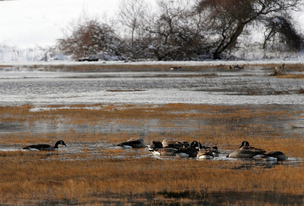 Manchester: A gaggle of geese search for food in a marsh near White Beach in Manchester on Monday afternoon during high tide. Photo by Kate Glass/Gloucester Daily Times Monday, January 4, 2009