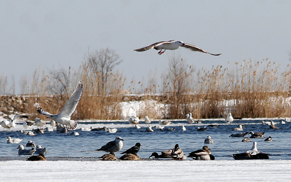 Gloucester: Several types of gulls and ducks have been splashing around Niles Pond lately, making it a good stop for the Cape Ann Birding Weekend. Photo by Kate Glass/Gloucester Daily Times