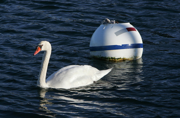 Rockport: A swan swims buy a buoy looking for food in Rockport Harbor Thursday afternoon.  Two swans were swimming around the waters by T-Wharf looking to eat the vegetation that grows under the buoys. Mary Muckenhoupt/Gloucester Daily Times
