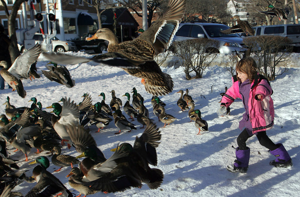 manchester: Mia Leonard, 6, of Manchester chases some ducks away by Manchester Harbor Wednesday afternoon.  Before chasing the ducks Mia came with bread to feed the ducks, something she tries to do everyday. Mary Muckenhoupt/Gloucester Daily Times