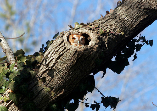 Essex: A screech owl has made a home in a tree on Western Ave. between Pickering Street and John Wise Ave. Photo by Kate Glass/Gloucester Daily Times