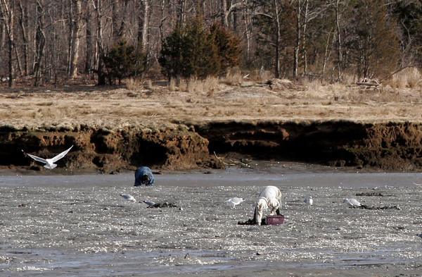 Essex: Seagulls fly around a group of clammers digging off Conomo Point Wednesday afternoon hoping to pick up some food. Photo by Kate Glass/Gloucester Daily Times
