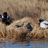 Manchester: Two pairs of mallard ducks sun themselves and preen their feathers in a marsh near White Beach Thursday afternoon. Photo by Kate Glass/Gloucester Daily Times