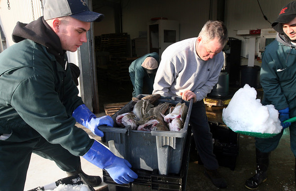 ALLEGRA BOVERMAN/Staff photo. Gloucester Daily Times. Gloucester: Eric Josephson of Gloucester, left, Foxy Lady Capt. Phil Powell of Swampscott, center, and Josh LeBlanc, right, unload cod landed by the Foxy Lady crew at the Cape Ann Seafood Exchange on Wednesday afternoon.