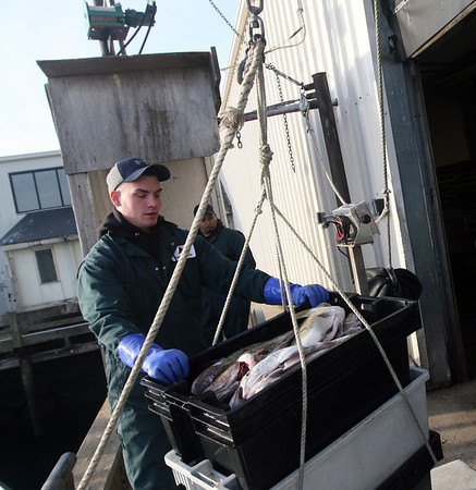 ALLEGRA BOVERMAN/Staff photo. Gloucester Daily Times. Gloucester: Eric Josephson of Gloucester, front, helps unload about 1,200 pounds of cod landed by the Foxy Lady crew on Wednesday afternoon at the Cape Ann Seafood Exchange. In back is Joe Batista.