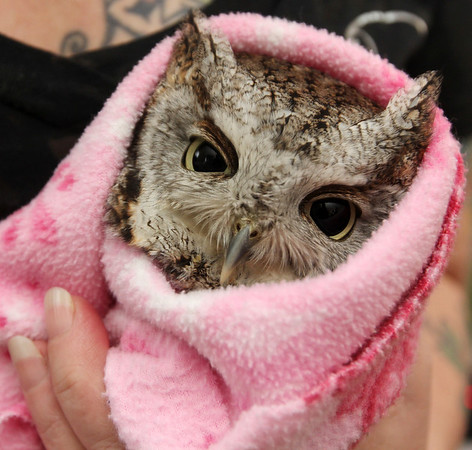 Allegra Boverman/Gloucester Daily Times. Jodi Swenson of Gloucester, a state and federally permitted wildlife rehabilitator, was tending to this gray phase eastern screech owl that was struck by a vehicle in Rockport earlier this week. She released it Tuesday afternoon near where it was found after giving it medication and having it checked out by a local vet.