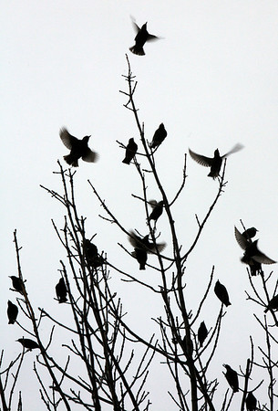 Allegra Boverman/Gloucester Daily Times. Starlings gather in trees at Whistlestop Mall in Rockport.