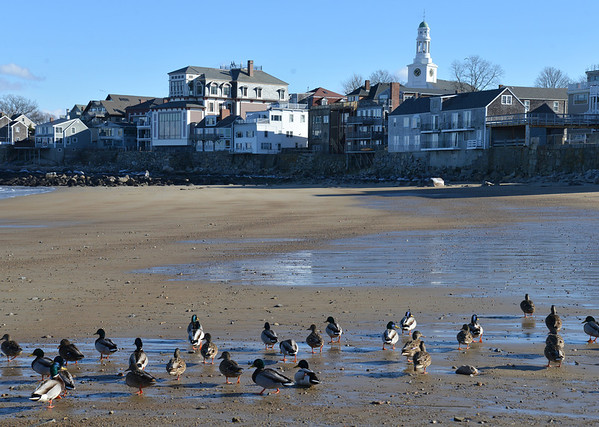 JIm Vaiknoras/Gloucester Daily Times: A brace of ducks gather on Front Beach in Rockport on a cold windy Wednesday afternoon.
