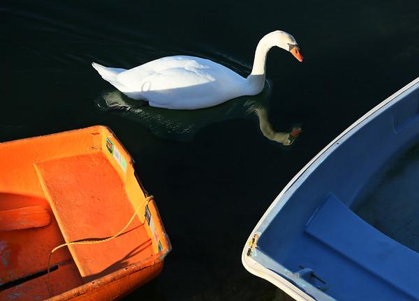 Rockport Swan