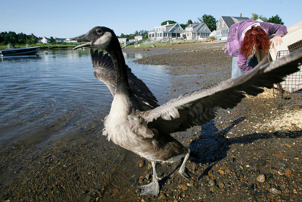 Essex: A young Canada goose flaps its wings as it heads out along Walker Creek yesterday morning while Jodi Swenson, a wildlife rehabilitator from Gloucester, tries to release another goose. The six geese caused a traffic jam on Highland Ave. in Salem two months ago as they crossed the street and Swenson has been caring for them ever since. Photo by Kate Glass/Gloucester Daily Times Monday, July 13, 2009