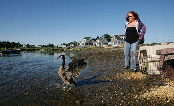 Essex: Jodi Swenson, a wildlife rehabilitator from Gloucester, watches as the last of six Canadian Geese she had been caring for wanders into Walker Creek, where they were released. The geese caused a traffic jam on Highland Ave. in Salem two months ago as they crossed the street. Photo by Kate Glass/Gloucester Daily Times Monday, July 13, 2009