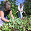 Gloucester: Lara Lepionka maintains the garden at Mark McDonough's home in Gloucester Much of the garden produce is featured at his restaurant, Alchemy. Photo by Kate Glass/Gloucester Daily Times