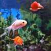 Gloucester: Animal Krackers in Gloucester has been receiving numerous phone calls about how chloramine in the Gloucester water has been killing goldfish. They recommend that Gloucester residents should use a special water treatment product for their fish. Photo by Kate Glass/Gloucester Daily Times