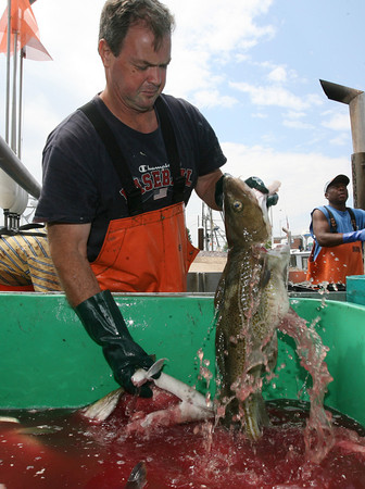 Gloucester: Tom Hill of Rockport onloads cod from his boat, the Karoline Marie, at the Gloucester Seafood Display Auction yesterday morning. Hill had been catching monkfish in Rhode Island for several months and has only been back in Gloucester for two weeks. Photo by Kate Glass/Gloucester Daily Times