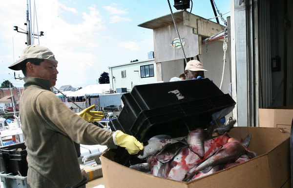 Gloucester: Workers from the Gloucester Seafood Display Auction unload dogfish from the Karoline Marie yesterday morning. Photo by Kate Glass/Gloucester Daily Times